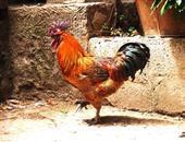 鸡(土鸡,家养)