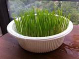 常吃小麦草解毒抗癌有奇效