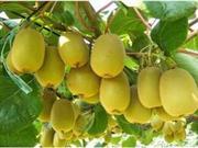 食用猕猴桃能延缓衰老